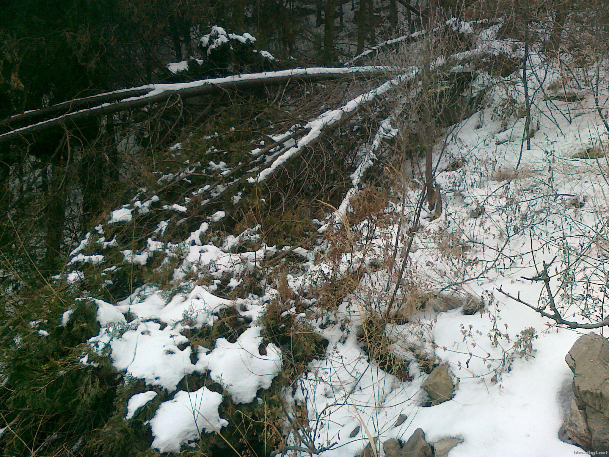 大雪压青松,青松被压断